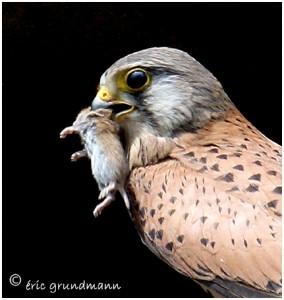 http://www.waibe.fr/sites/photoeg/medias/images/new_nature/faucon_male_01b.jpg