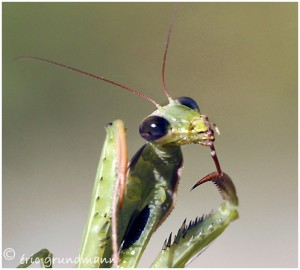 http://www.waibe.fr/sites/photoeg/medias/images/new_nature/mante_04b.jpg