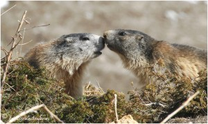 http://www.waibe.fr/sites/photoeg/medias/images/new_nature/marmotte_100__4_.jpg