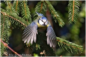 http://www.waibe.fr/sites/photoeg/medias/images/new_nature/mesange_bleue_42_2x30_2.jpg