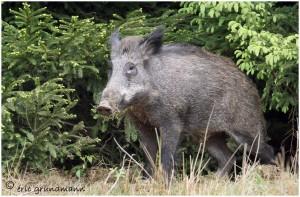 http://www.waibe.fr/sites/photoeg/medias/images/new_nature/sanglier_20x30-.jpg