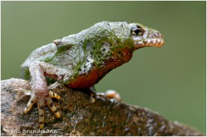 http://www.waibe.fr/sites/photoeg/medias/images/new_nature/triton_022C.jpg