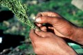 http://www.waibe.fr/sites/sawadi/medias/images/cannabis_du_Rif/preparatoin_du_Kif.jpg