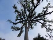 https://www.waibe.fr/sites/micmary/medias/images/Guatemala2/GT-335-Tikal-Ceiba.JPG