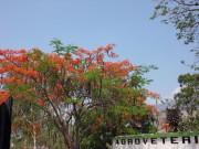 https://www.waibe.fr/sites/micmary/medias/images/Honduras/H-010-Copan-Route-flamboyants_ou_delonix_regia_.JPG