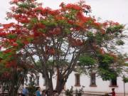https://www.waibe.fr/sites/micmary/medias/images/Honduras/H-015-Copan-flamboyants_ou_delonix_regia_.JPG