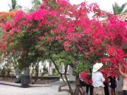 https://www.waibe.fr/sites/micmary/medias/images/Honduras/H-020-Copan-bougainvillier.JPG