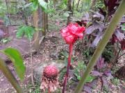 https://www.waibe.fr/sites/micmary/medias/images/Honduras/H-075-Copan-Perroquets-rose_de_porcelaine_ou_Nicolaia_eliator_.JPG