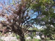 https://www.waibe.fr/sites/micmary/medias/images/Panama/P-275-Boquette-Verrues_sur_arbre.JPG