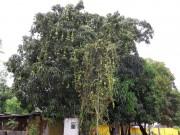 https://www.waibe.fr/sites/micmary/medias/images/Panama/P-435-Panonome-Quel_arbre_et_fruit.JPG