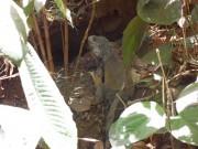 https://www.waibe.fr/sites/micmary/medias/images/Panama/P-450-Panama-Iguane_dans_la_ville.JPG
