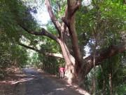 https://www.waibe.fr/sites/micmary/medias/images/Panama/P-470-Panama-Cerro_Ancon-Impressionant_le_diametre_de_l__arbre.JPG