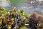https://www.waibe.fr/sites/ndpd/medias/images/algues/FL00949.jpg