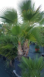 https://www.waibe.fr/sites/palmares/medias/images/__HIDDEN__galerie_3/plante-claouey-4.jpg