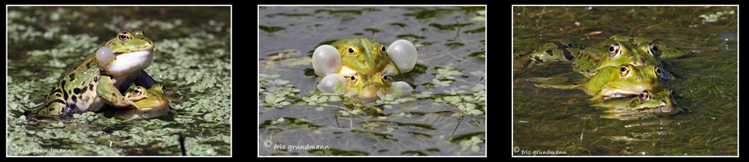LSV grenouilles