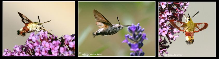 LSV shinx colibri