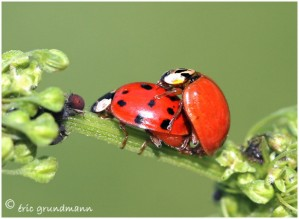 https://www.waibe.fr/sites/photoeg/medias/images/ACCOUPLEMENTS/accouplement_coccinelles_02.jpg