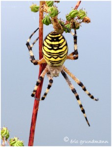 https://www.waibe.fr/sites/photoeg/medias/images/ARAIGNEES/argiope_11B.jpg