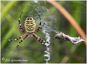 https://www.waibe.fr/sites/photoeg/medias/images/ARAIGNEES/argiope_2b.jpg
