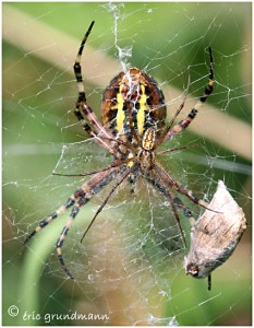https://www.waibe.fr/sites/photoeg/medias/images/ARAIGNEES/argiope__male_01.jpg