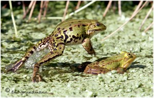 https://www.waibe.fr/sites/photoeg/medias/images/BATRACIENS/grenouille_119bS.jpg