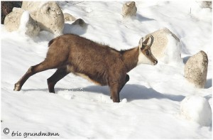 https://www.waibe.fr/sites/photoeg/medias/images/FAUNE_MONTAGNE/chamois_012.jpg