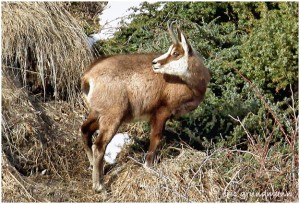 https://www.waibe.fr/sites/photoeg/medias/images/FAUNE_MONTAGNE/chamois_013b.jpg