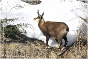 https://www.waibe.fr/sites/photoeg/medias/images/FAUNE_MONTAGNE/chamois_016.jpg