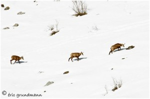 https://www.waibe.fr/sites/photoeg/medias/images/FAUNE_MONTAGNE/chamois_02b.jpg