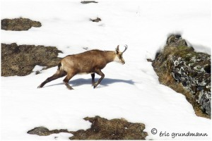 https://www.waibe.fr/sites/photoeg/medias/images/FAUNE_MONTAGNE/chamois_033.jpg