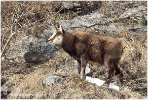 https://www.waibe.fr/sites/photoeg/medias/images/FAUNE_MONTAGNE/chamois_08b.jpg