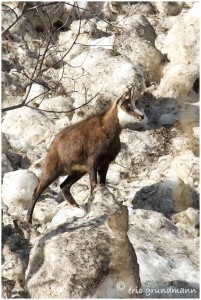 https://www.waibe.fr/sites/photoeg/medias/images/FAUNE_MONTAGNE/chamois_09.jpg