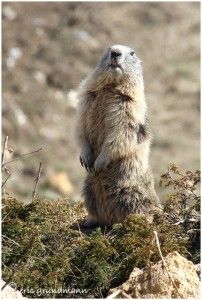 https://www.waibe.fr/sites/photoeg/medias/images/FAUNE_MONTAGNE/marmotte_20C.jpg