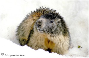 https://www.waibe.fr/sites/photoeg/medias/images/FAUNE_MONTAGNE/marmotte_3.jpg