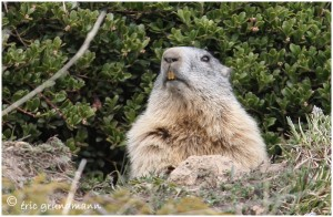 https://www.waibe.fr/sites/photoeg/medias/images/FAUNE_MONTAGNE/marmotte_34C.jpg