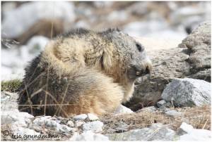 https://www.waibe.fr/sites/photoeg/medias/images/FAUNE_MONTAGNE/marmotte_46.jpg