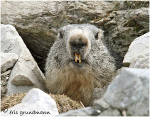 https://www.waibe.fr/sites/photoeg/medias/images/FAUNE_MONTAGNE/marmotte_53.jpg