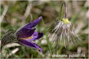 https://www.waibe.fr/sites/photoeg/medias/images/FLORE/anemone_pulsatillle.jpg