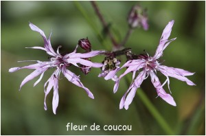 https://www.waibe.fr/sites/photoeg/medias/images/FLORE/fleur_de_coucou-.jpg