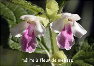 https://www.waibe.fr/sites/photoeg/medias/images/FLORE/melite_a_fleur_de_melisse_02.jpg