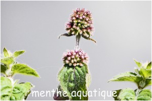 https://www.waibe.fr/sites/photoeg/medias/images/FLORE/menthe_aquatique_01.jpg