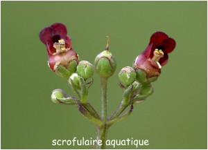 https://www.waibe.fr/sites/photoeg/medias/images/FLORE/scrofulaire_aquatique.jpg