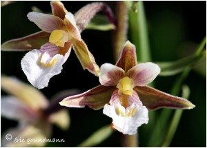 https://www.waibe.fr/sites/photoeg/medias/images/FLORE_HUMIDE/epipactis_palustis_04.jpg