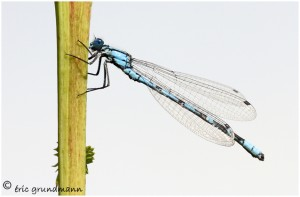https://www.waibe.fr/sites/photoeg/medias/images/INSECTES/LIB-demoiselle_21.jpg