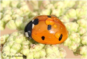 https://www.waibe.fr/sites/photoeg/medias/images/INSECTES/coccinelle_gouttes_01.jpg