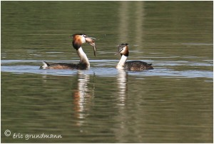 https://www.waibe.fr/sites/photoeg/medias/images/MARES/2012-grebe_02.jpg