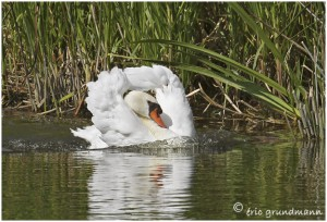 https://www.waibe.fr/sites/photoeg/medias/images/MARES/cygne_61.jpg