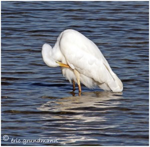 https://www.waibe.fr/sites/photoeg/medias/images/MARES/grande_aigrette_04.jpg
