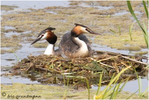https://www.waibe.fr/sites/photoeg/medias/images/MARES/grebes_nid_04.jpg