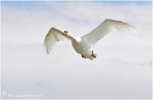 https://www.waibe.fr/sites/photoeg/medias/images/OISAUX/2013-cygne_vol_01b.jpg